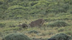 Puma feeding on pray in Patagonia in Chile 1 - stock footage