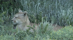 Puma resting in bush in Patagonia in Chile 2 - stock footage