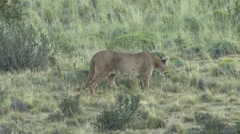 Puma running in the bush in Patagonia in Chile 1 Stock Footage