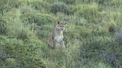 Puma sit in grasland and look around in Patagonia in Chile 1 - stock footage