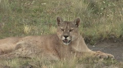 Puma stand up and walk away in Patagonia in Chile 1 Stock Footage