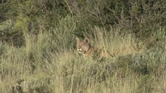 Puma walk in the bush in Patagonia in Chile 10 Stock Footage