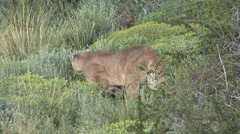 Puma walk in the bush in Patagonia in Chile 11 - stock footage