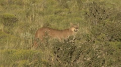 Puma walk in the bush in Patagonia in Chile 13 - stock footage