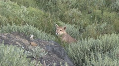Puma walk in the bush in Patagonia in Chile 2 Stock Footage