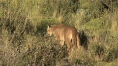 Puma walk in the bush in Patagonia in Chile 19 Stock Footage