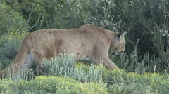 Puma walk in the bush in Patagonia in Chile 4 - stock footage