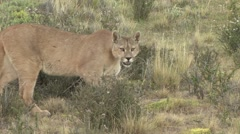 Puma walk in the bush in Patagonia in Chile 6 Stock Footage