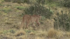 Puma walk in the bush in Patagonia in Chile 8 Stock Footage