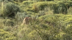 Puma walk in to the bush in Patagonia in Chile 2 - stock footage
