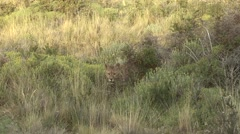 Puma walk out from bush in Patagonia in Chile 2 Stock Footage