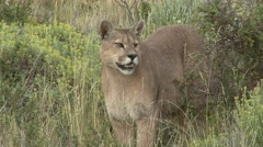 Puma walk out from bush in Patagonia in Chile 3 - stock footage
