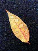 Autumn leaf with raindrops Stock Photos