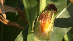 Corn field, corn on the cob - stock footage