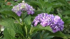 Purple hydrangea plant in the wild Stock Footage