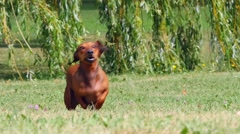 Stock Video Footage of HD - Dog running. Slow motion