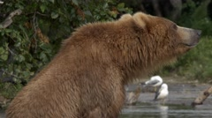 Grizzly bear and salmon - stock footage