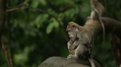 Monkeys in Sacred temple of Alas Kedaton Stock Footage