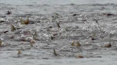 Kokanee Salmon Spawning Stock Footage