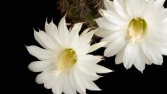 Time lapse of the white flowers Echinopsis opening on black background - stock footage