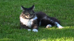 Gray cat resting and somersaults on the grass. 4K Stock Footage