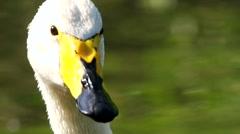 Whooper swan - closeup Stock Footage
