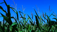 Vibrant corn field blowing in the wind on a sunny day, pan Stock Footage