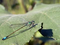 Blue damselfly (Ischnura elegans) Stock Photos