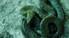 Coiled snake, tongue out, heedful. Dice snake ( Natrix tessellata ) Stock Footage