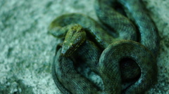 Coiled snake, tongue out. Dice snake ( Natrix tessellata ) Stock Footage