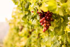 A grape in a vineyard Stock Photos