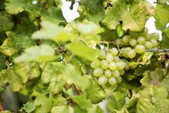 Grape in a vineyard Stock Photos