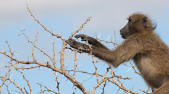 Chacma Baboon sitting in a tree and eating Stock Footage
