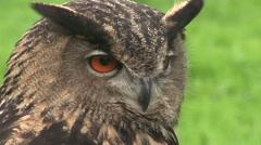 Eurasian Great Eagle Owl Stock Footage