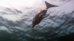 Sea cows, manatee swims at the bottom of the sea and looking food rising murk. Stock Footage