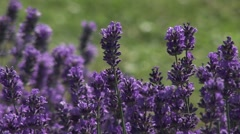 Fresh Purple Aromatic Wildflower Stock Footage