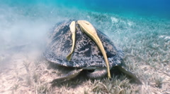 Green Sea Turtle  swimming In Sea with Remora Fish in search of food. - stock footage