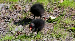 Moorhen - young and adult in summer Stock Footage