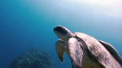 Green Sea Turtle  swimming In Sea with Remora Fish in search of food. Stock Footage