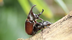 The implant epididymitis of Rhinoceros beetle in the breeding season Stock Footage