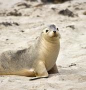 Sea lion resting on a beach - stock photo