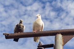 Two pigeon perch on a Rack with clear blue sky Stock Photos