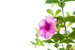 Purple allamanda cathartica isolated on white background - stock photo