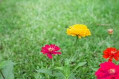 Side view  Zinnia violacea on blur background texture - stock photo