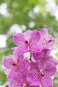 Vanda orchid on blur background - stock photo