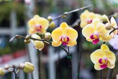 Photo of Phalaenopsis,Moth Orchid flowers,beautiful with yellow flowers on bl Stock Photos