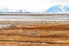 Birds in arctic tundra, Svalbard, Norway Kuvituskuvat