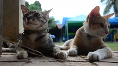Thai domestic cats playing in garden - stock footage
