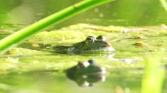 Stock Video Footage of edible frog - Rana kl. esculenta - in a lake