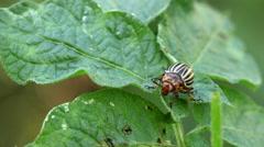 Colorado potato beetle on leafs Stock Footage
